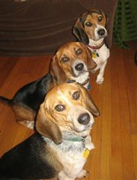 My 3 Beagle Boys